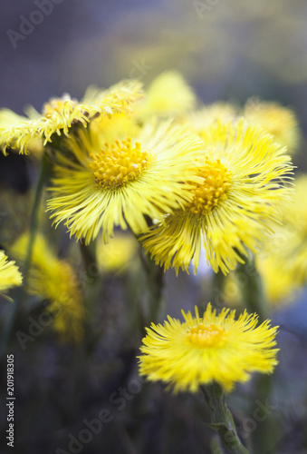 Yellow coltsfoot flowers (Tussilago farfara)