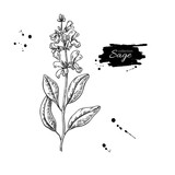 Sage vector drawing. Isolated plant with flower and leaves. - 201927931