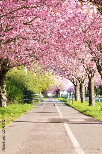 Foto Murales Kirschblüte - Sakura mit Radweg