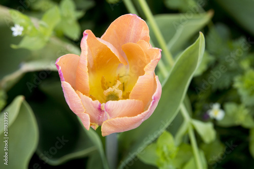 Aluminium Tulpen Close up of a salmon pink tulip in the garden seen from above