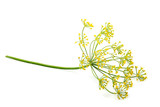Wild fennel flower isolated. - 201938353