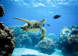 Green Sea Turtle - 201958582