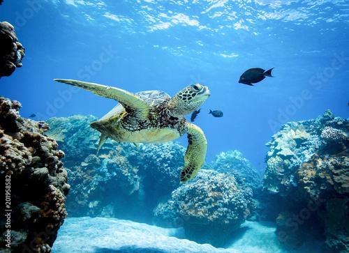 obraz lub plakat Green Sea Turtle