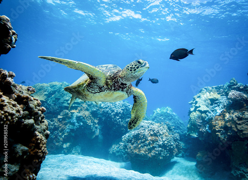 fototapeta na ścianę Green Sea Turtle