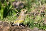 European greenfinch female bird standing on the ground looking to the right - 201989790