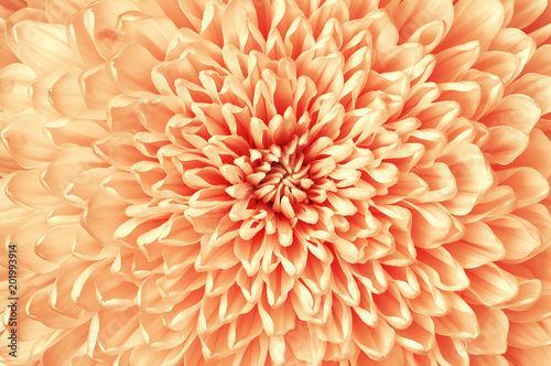 Chrysanthemum red white flower closeup. Macro. It can be used in website design and printing. Also good for designers. - 201993914