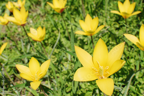 Foto Murales yellow tulips with pointed lepitches