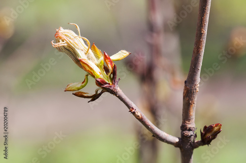 Foto Murales Horse chestnut bud bursting into leaves. Castania tree branch macro view. Shallow depth of field, soft focus background