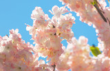 Pink flowers on a tree against the sky - 202004999