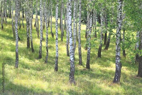 Fotobehang Berkenbos White birch trees with green birch leaves in birch grove in summer