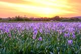 Champ de fleurs d'iris . Lever de soleil. Provence, France.