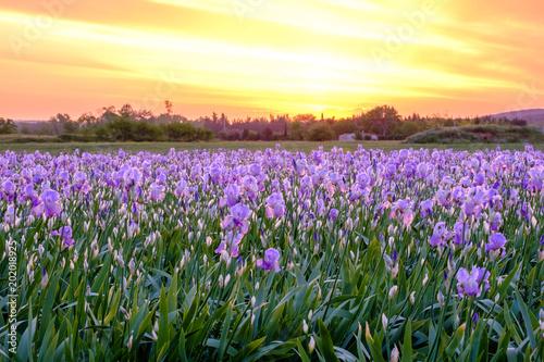 Aluminium Iris Champ de fleurs d'iris . Lever de soleil. Provence, France.