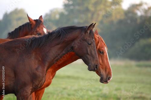 Plexiglas Paarden brown horses on pasture outdoors