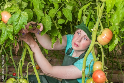 Foto Murales Happy young woman in uniform, cuts fresh tomatoes in a greenhouse. Work in a greenhouse.