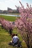 Sakura Blooming in Vilnius - 202031737