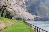 西大滝ダムの桜 - 202034919