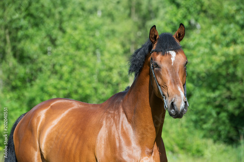 Foto Murales portrait of young  sportive stallion