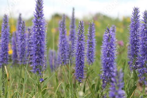 Plexiglas Lavendel Tiges fleuries violettes