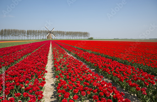Aluminium Tulpen field of red and yellow tulips in holland