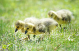 Cute newborn Canada geese goslings strolling in the grass in springtime