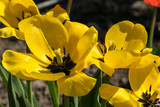 Fototapeta Tulips - Kwiaty © Mariusz Żyła