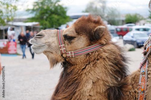 Aluminium Kameel Camel head profile photo. Brown camel portrait.