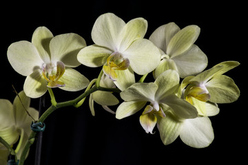 Yellow orchid with dark background
