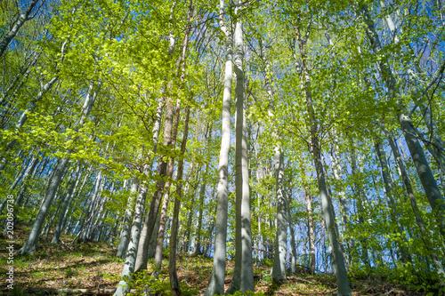 Fotobehang Berkenbos Oak Forest