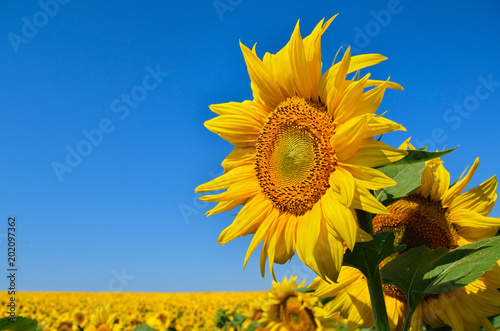 Fototapeta Young sunflowers bloom in field against a blue sky