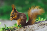 Squirrel gnaws, eats a nut in the forest