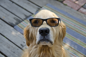 Golden Retriever Wearing Sunglasses