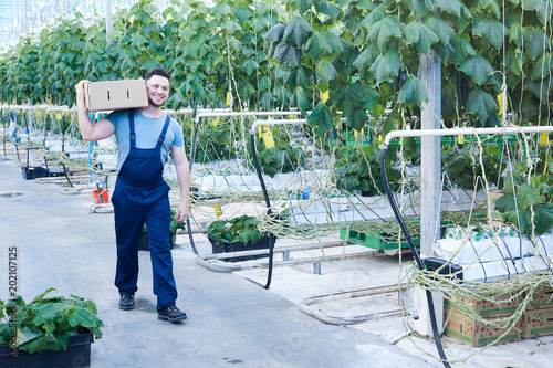 Foto Murales Full length portrait of cheerful farmer carrying box of cucumbers while gathering harvest on plantation in greenhouse, copy space