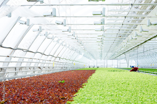 Foto Murales Unrecognizable male worker caring for green and red leaf lettuce in spacious commercial greenhouse