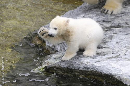 Aluminium Ijsbeer Junger Eisbär (Ursus maritimus), Captive, Deutschland, Europa