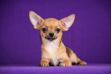 red puppy on purple background