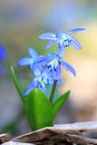 scilla bifolia flower - 202167961