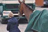 Eine junge Frau führt ihr Pferd am Halfter sicher zum Pferdetransporter