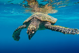 Sea Turtle swimming in Seychelles - 202193742