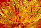 Beautiful flower Dahlia close-up