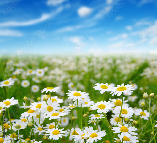 white daisies on blue sky