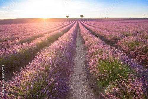 Plexiglas Lavendel Big lavender field on sunset