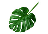 Tropical green leaves on white background - 202215528