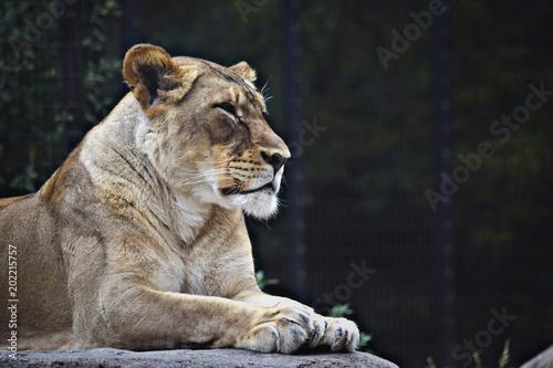 Fotobehang Lion The Queen
