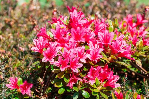 Plexiglas Azalea Fleurs d'azalées