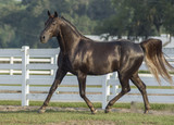 Missouri Fox Trotter Stallion - 202235365