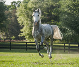 Lucitano stallion horse running toward - 202235536