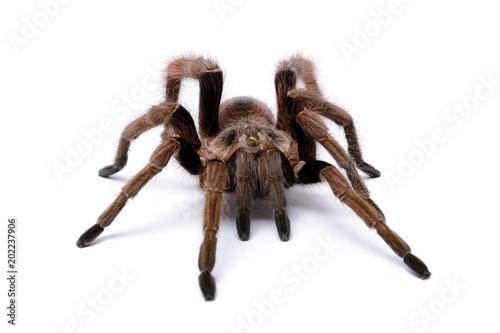 Fototapeta Tarantula (1)