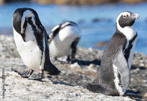 Aluminium Pinguin Penguin in south africa