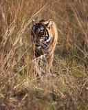 tiger at the Ranthambore National Park. India.
