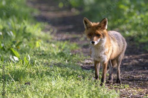 Fototapeta Ein Fuchs , Fähe , im Frühling auf einem Waldweg